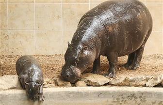 حديقة حيوان بتايلاند تشرك الزوار في تسمية صغير فرس النهر القزم