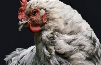 دجاجة تهدد لاعب كرة قدم بالسجن| فيديو