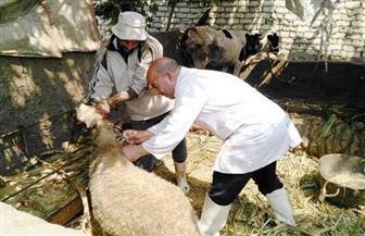 تحصين أكثر من  106 آلاف رأس ماشية ضد الحمى القلاعية والوادي المتصدع في بني سويف