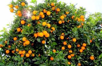 """""""الزراعة"""" تعلن فتح الأسواق النيوزلندية أمام البرتقال المصري"""