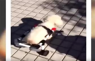 مبادرة شاب أرجنتيني يصنع أطرافا صناعية للحيوانات التي تعرضت لحوادث الطرق | فيديو