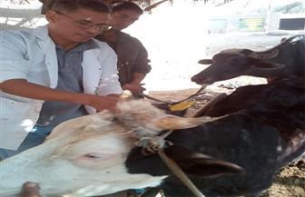الزراعة: تحصين أكثر من مليون رأس ماشية ضد مرض الحمى القلاعية| صور