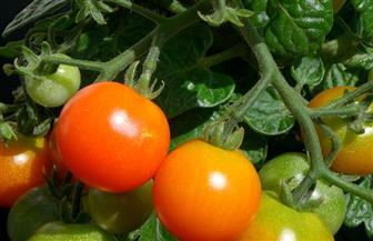 هل الأجزاء الخضراء بالطماطم سامة؟ هل القهوة تحرم الجسم من المياه؟ اعرف صحتك من طعامك؟