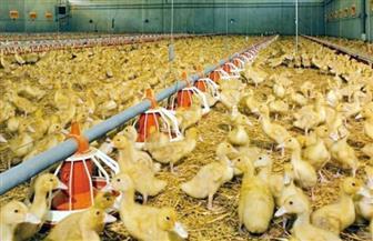 """""""الزراعة"""" تعلن إنتاج لقاح جديد لحماية البط من التقزم"""