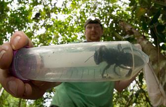 إعادة اكتشاف أكبر نحلة في العالم بعد اختفائها عام 1981