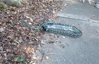 رصد تماسيح وثعابين في شوارع بأستراليا بعد هطول أمطار بمعدلات قياسية