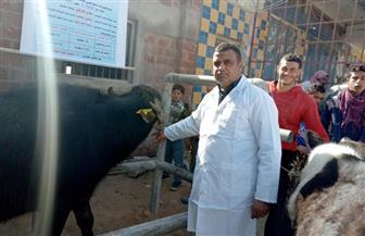 تحصين 1000 من الماشية والأغنام بقرية 27 بالحمام ضد الحمى القلاعية والوادي المتصدع | صور