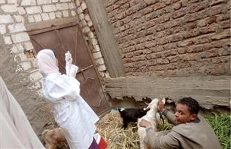 خلال الأسبوع الأول للحملة.. تحصين 726 ألف رأس ماشية من الحمى القلاعية| صور