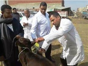 تحصين 118451 حيوانا ضد جدري الماشية بكفر الشيخ