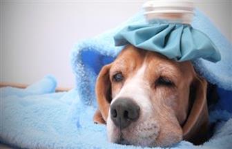 """بعد الطيور والخنازير.. هل تتحول """"إنفلونزا الكلاب"""" إلى وباء يهدد الإنسان؟"""