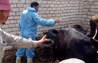 تحصين 190 ألفا و778 رأس ماشية في كفر الشيخ ضد الجدري