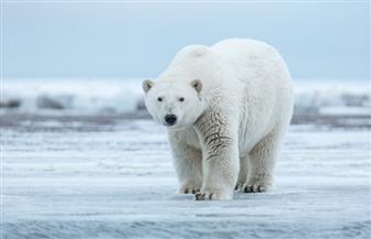 علماء يحذرون من خطر انقراض الدببة القطبية بحلول 2100