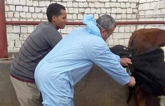 تحصين 24 ألف رأس ماشية ضد الحمى القلاعية والوادي المتصدع في بني سويف