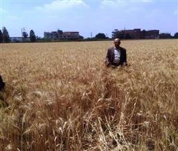 زراعة الشرقية: توريد 6 ملايين و780 ألف طن قمح