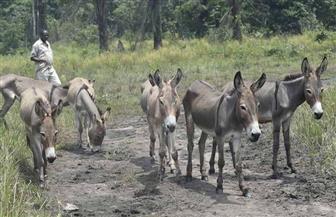 الحمير تثبت جدارتها في حراسة قطعان الماشية ضد الكلاب البرية في أستراليا