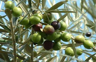 خبير زراعي: محصول الزيتون هو مستقبل الاستثمار في الأراضي الجديدة