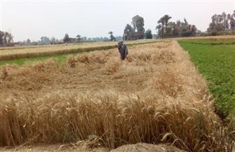 أشكال وألوان خيال المآتة في موسم حصاد القمح  بالصعيد.. عادة مصرية تتحدى الزمن   فيديو