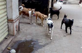 ضبط 40 كلبا ضالا في حملة بيطرية بالفيوم