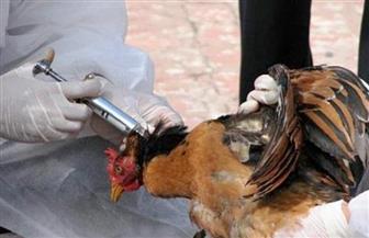 تحصين 685 ألفا و300 طائر ضد مرض أنفلونزا الطيور بالشرقية