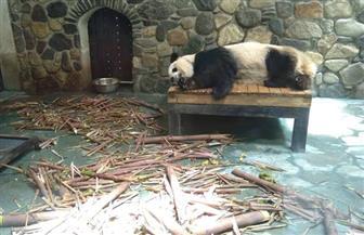"""""""بوابة الأهرام"""" في موطن الباندا العملاقة.. صديق الإنسان ويميل للعزلة وتكافح الصين لإنقاذه من الانقراض  صور"""