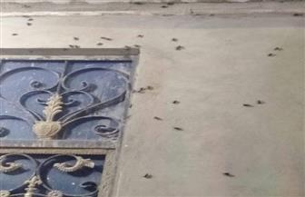 الخنفساء السوداء تجتاح مدينة إسنا بالأقصر.. وتقرير: لا تمثل خطورة ولا تحدث إصابات جسدية|صور