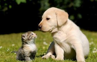 دراسة: هناك صلة محتملة بين سلالة كورونا البريطانية والتهاب عضلة القلب لدى القطط والكلاب