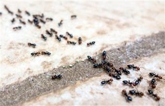 كيف تتخلص من النمل بدون ارتكاب عملية قتل جماعي؟