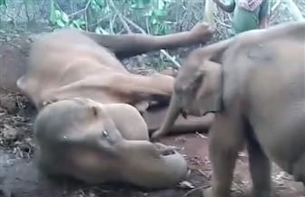 فيل صغير يحاول إيقاظ أمه الميتة.. ويبكي عليها  فيديو