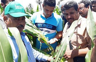 ندوات توعية للمزارعين  لمكافحة دودة الحشدة الخريفية بحقول الذرة الشامية في قنا | صور