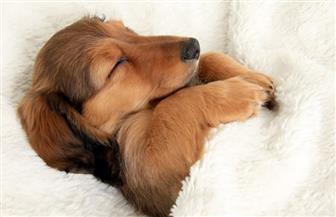 دراسة لعلماء النفس بهارفارد: الكلاب تحلم بأصحابها وبأشيائها المفضلة | فيديو