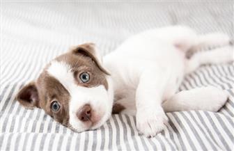 هل تعلم أن كلبك الأليف يحلم أثناء نومه؟ إليك نوعية أحلامه وعلاماتها ومتى تتحول إلى كوابيس