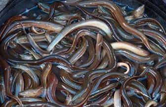 مكتب التمثيل التجاري المصري في سول: الحصول على فرص لتصدير أسماك الثعبان