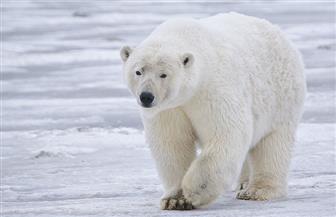 نقل أنثى دب قطبي ضالة إلى حديقة حيوان في سيبيريا للعلاج