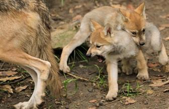 أشبال الذئاب النادرة تجذب الزوار في حديقة حيوان مكسيكو سيتي
