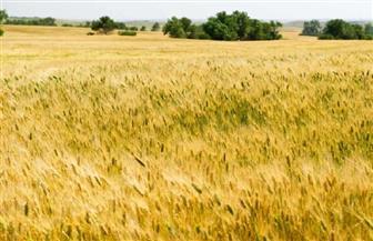 وزارة الزراعة الأمريكية: العثور على قمح معدل وراثيا في حقل بولاية واشنطن