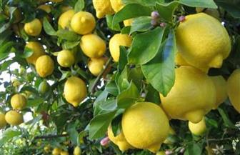 نقيب الفلاحين: انخفاض أسعار الليمون 50%