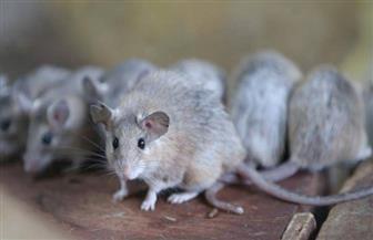 """بسبب الفئران.. ضبط 200 طن """"ترمس"""" بثلاجة في المدينة الصناعية بجمصة"""