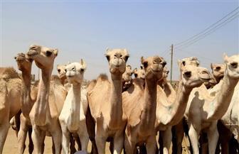 """""""عبدالحكيم"""" يقوم بجولة مفاجئة إلى سوق الجمال بمنطقة برقاش في محافظة الجيزة"""
