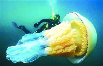 قنديل بحرى عملاق  يظهر بالقرب من سواحل إنجلترا