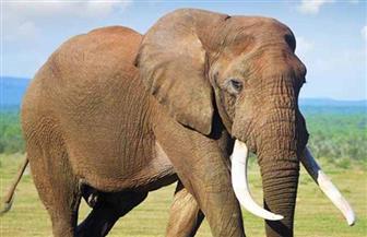 فيل يدوس شابا حتى الموت في بوتسوانا