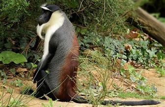 سبعة أنواع من الرئيسيات مهددة بالانقراض
