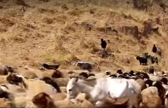 الذئاب ترعى الغنم في العراق | فيديو