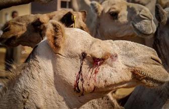 أبرزها التعامل برقة وخصوصية مع الإبل.. تعرف على أول قوانين الرأفة بالحيوان في مصر
