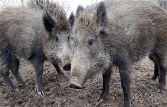 حمى الخنازير الإفريقية تعاوز الظهور في كوريا الجنوبية