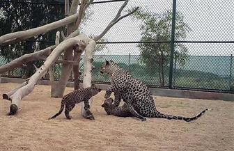 ولادة صغيرين جديدين من النمور العربية بالسعودية | صور