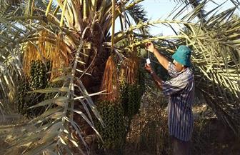 200 ألف جنيه دعما من محافظة مطروح لإطلاق طفيل مكافحة آفات ثمرة النخيل بسيوة | صور