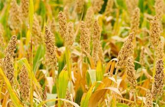 """""""الزراعة"""" تطلق مشروعا لإنتاج هجن الذرة الرفيعة البيضاء"""