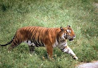 نمر بري يقتل امرأة في نيبال