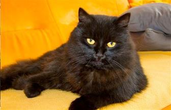 أستاذ طب بيطري: القطط لا تنقل عدوى فيروس كورونا