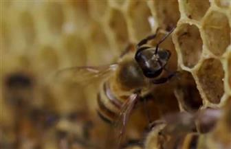 العالم يفقد أكثر من نصف مليار نحلة خلال الـ 3 أشهر الماضية فقط